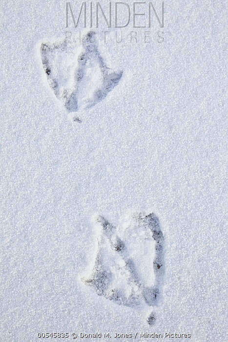 Canada Goose (Branta canadensis) tracks in snow, North America  -  Donald M. Jones