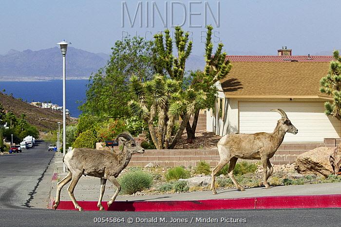 Desert Bighorn Sheep (Ovis canadensis nelsoni) pair in urban neighborhood, North America  -  Donald M. Jones