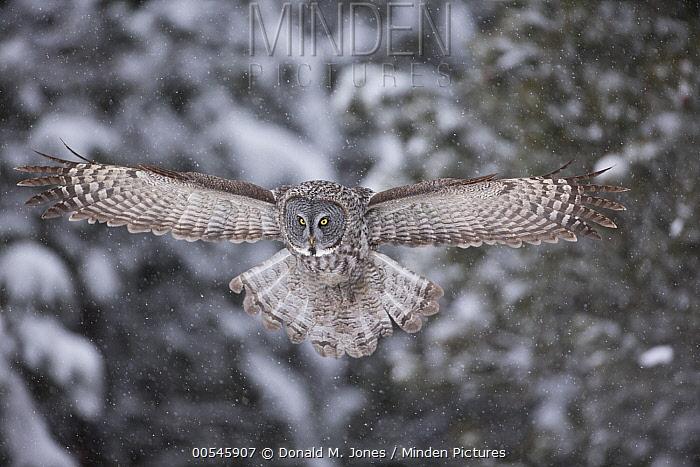 Great Gray Owl (Strix nebulosa) hunting, North America  -  Donald M. Jones
