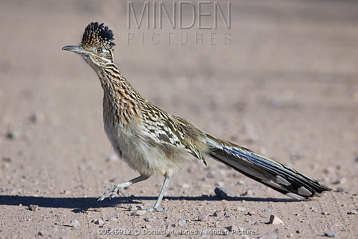 Greater Roadrunner (Geococcyx californianus) running, central New Mexico  -  Donald M. Jones