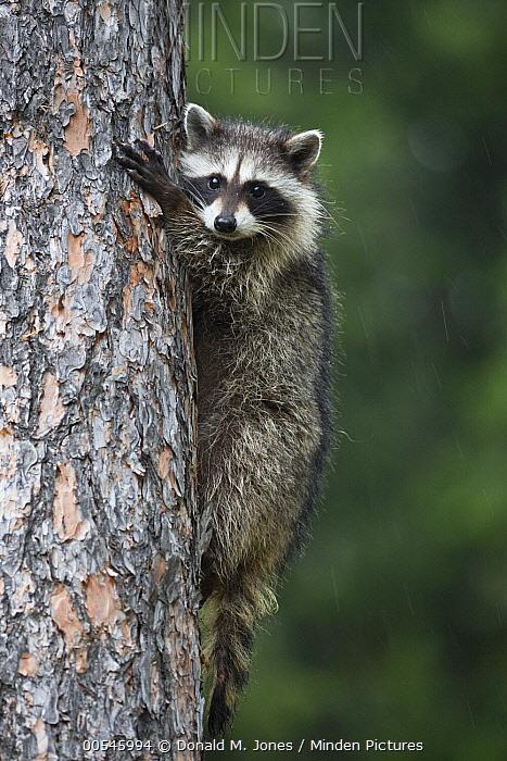 Raccoon (Procyon lotor) clinging to tree, western Montana  -  Donald M. Jones