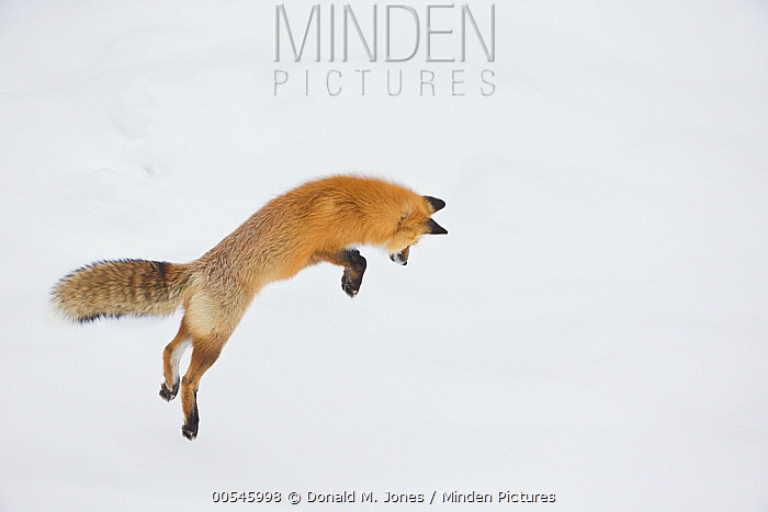 Red Fox (Vulpes vulpes) hunting vole in winter, Yellowstone National Park, Wyoming. Sequence 1 of 6  -  Donald M. Jones