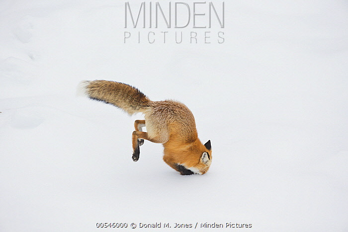 Red Fox (Vulpes vulpes) hunting vole in winter, Yellowstone National Park, Wyoming. Sequence 3 of 6  -  Donald M. Jones