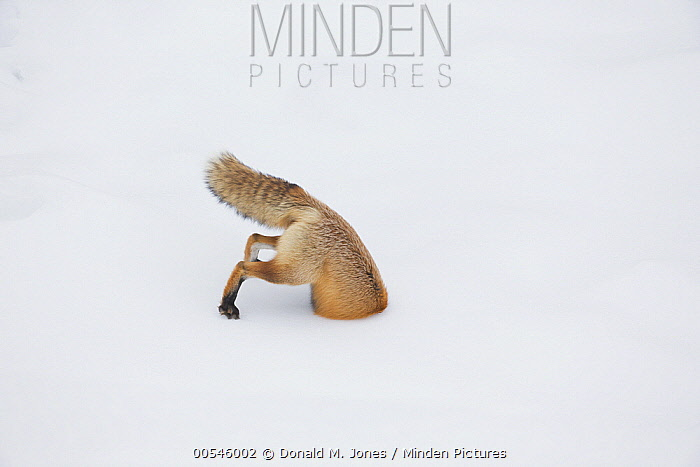 Red Fox (Vulpes vulpes) hunting vole in winter, Yellowstone National Park, Wyoming. Sequence 5 of 6  -  Donald M. Jones