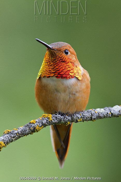 Rufous Hummingbird (Selasphorus rufus) male, western Montana  -  Donald M. Jones