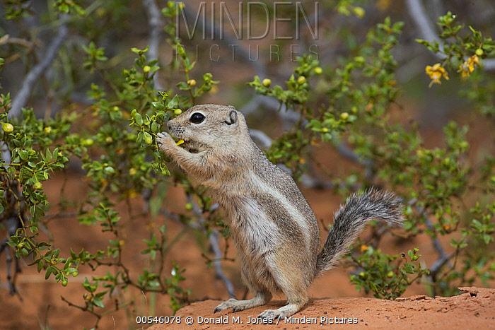 White-tailed Antelope Squirrel (Ammospermophilus leucurus) feeding on flowers, southern Nevada  -  Donald M. Jones