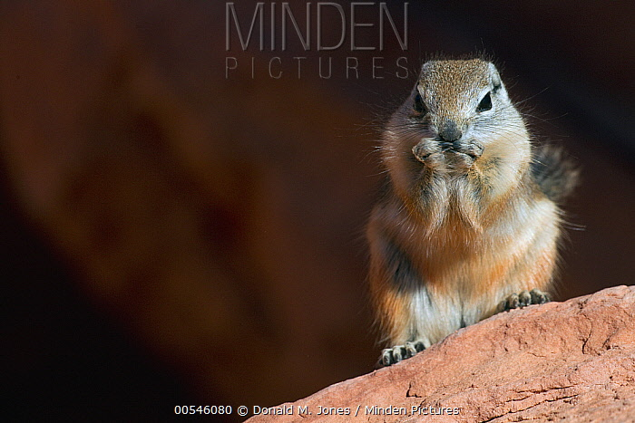 White-tailed Antelope Squirrel (Ammospermophilus leucurus) feeding, southern Nevada  -  Donald M. Jones