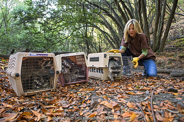 Raccoon (Procyon lotor) four month old orphaned juveniles being released into wild by volunteer, Michelle Ganote, WildCare, San Rafael, California  -  Suzi Eszterhas