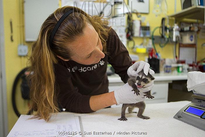 Raccoon (Procyon lotor) three week old baby examined by director of animal care, Melanie Piazza, at wildlife rehabilitation center, WildCare, San Rafael, California  -  Suzi Eszterhas