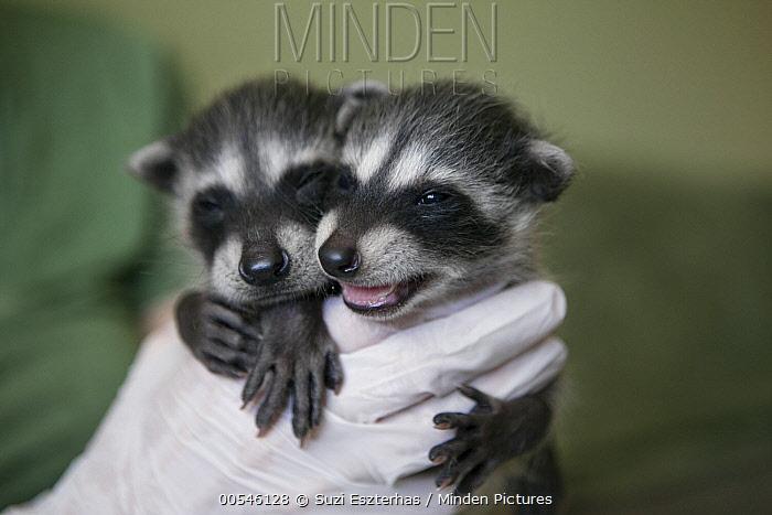 Raccoon (Procyon lotor) four week old orphaned babies in foster home, WildCare, San Rafael, California  -  Suzi Eszterhas