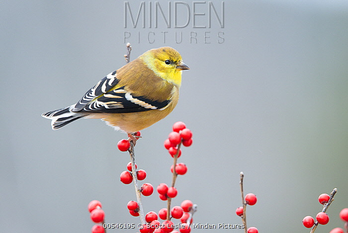 American Goldfinch (Carduelis tristis) in winter with berries, Maine  -  Scott Leslie