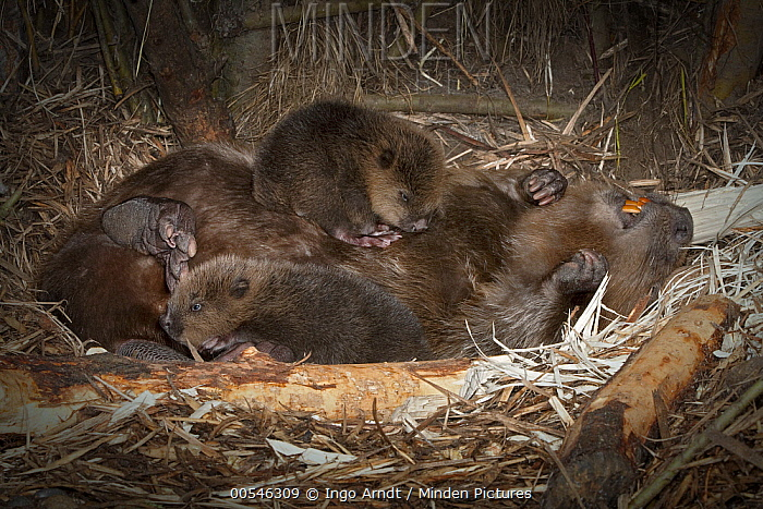 European Beaver (Castor fiber) playing with two newborn babies inside lodge, Germany  -  Ingo Arndt