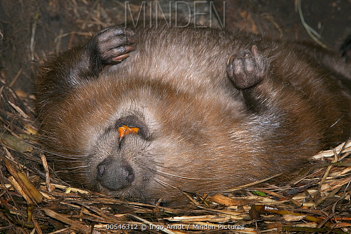 European Beaver (Castor fiber) male resting on back, inside lodge, Germany  -  Ingo Arndt