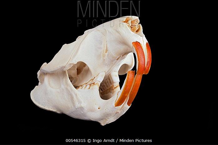 European Beaver (Castor fiber) skull, Germany  -  Ingo Arndt