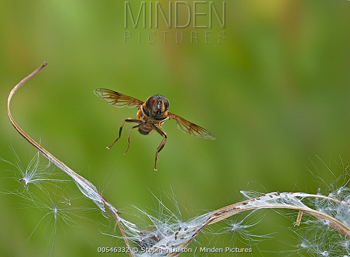 Hoverfly (Eristalis sp) flying, Sussex, England  -  Stephen Dalton