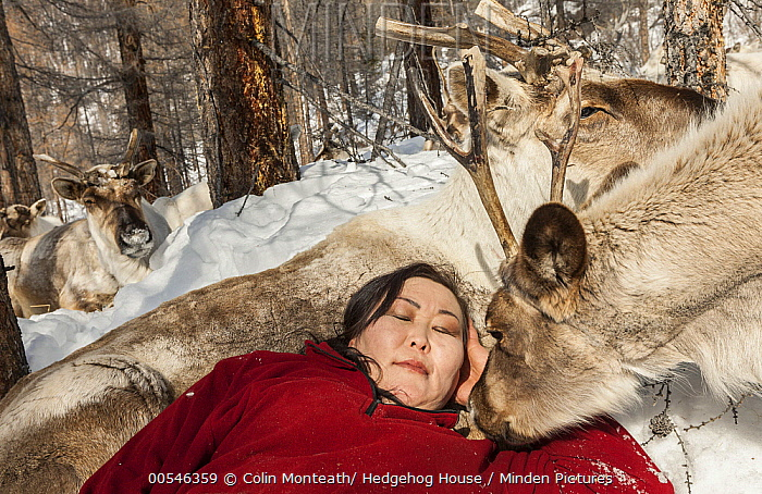 Caribou (Rangifer tarandus) with Tsataan woman sleeping, northern Mongolia  -  Colin Monteath/ Hedgehog House