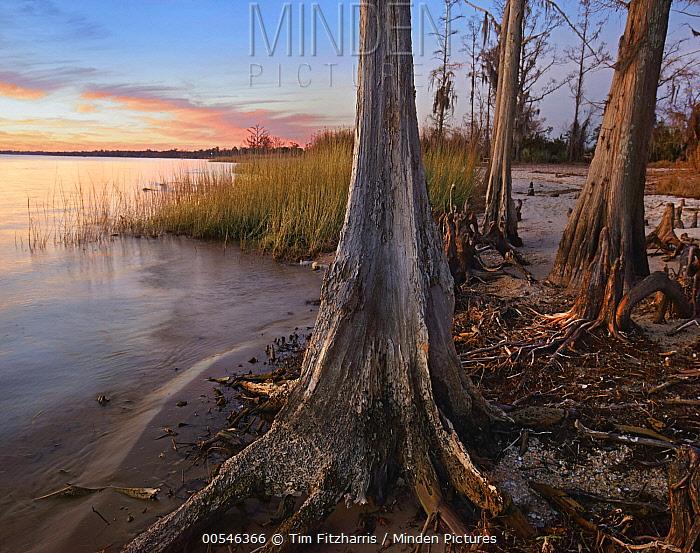 Dwarf Cypress (Taxodium sp) trees on lakeshore, Lake Pontchartrain, Fontainbleu State Park, Louisiana  -  Tim Fitzharris