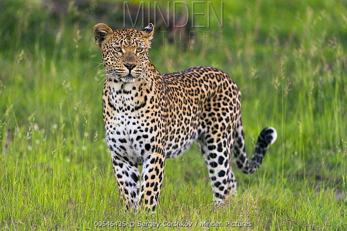 Leopard (Panthera pardus), Sabi-sands Game Reserve, South Africa  -  Sergey Gorshkov