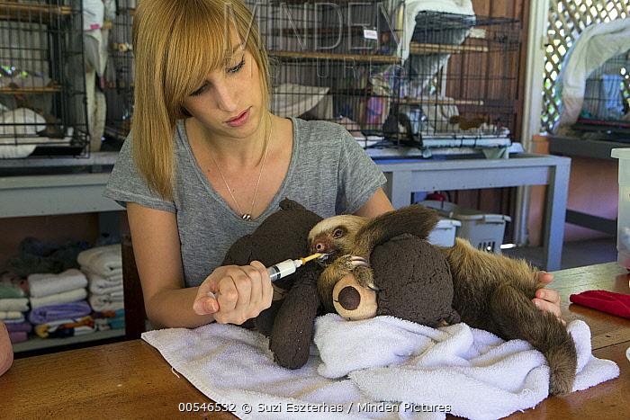 Hoffmann's Two-toed Sloth (Choloepus hoffmanni) biologist, Rebecca Cliffe, feeding orphaned baby, Aviarios Sloth Sanctuary, Costa Rica  -  Suzi Eszterhas