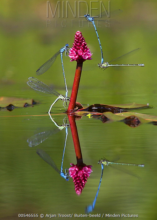 Azure Damselfly (Coenagrion puella) pairs mating and laying eggs, Vijver, Netherlands  -  Arjan Troost/ Buiten-beeld