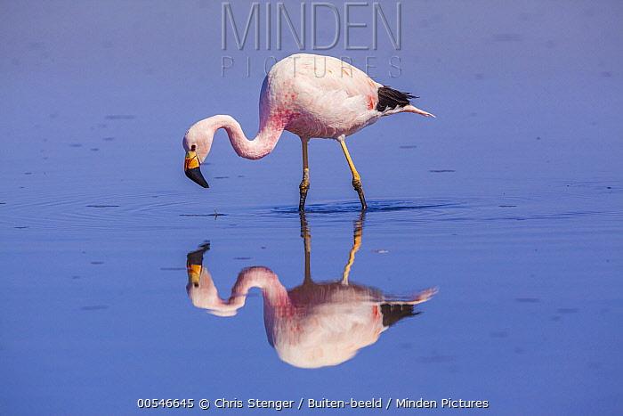 Andean Flamingo (Phoenicopterus andinus) foraging in lake, Los Flamencos National Reserve, Chile  -  Chris Stenger/ Buiten-beeld