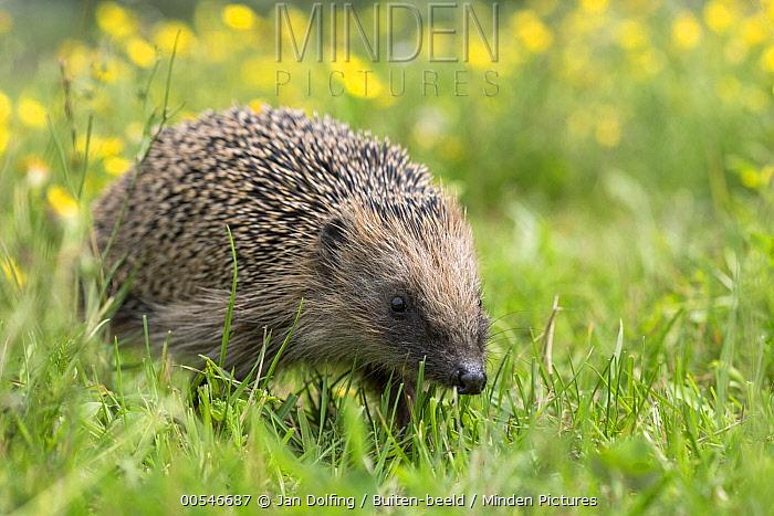 Brown-breasted Hedgehog (Erinaceus europaeus) in meadow, Europe  -  Jan Dolfing/ Buiten-beeld