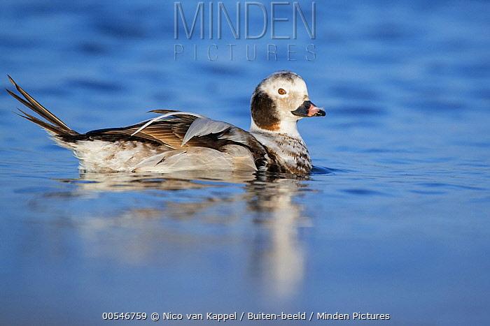 Long-tailed Duck (Clangula hyemalis), Netherlands  -  Nico van Kappel/ Buiten-beeld