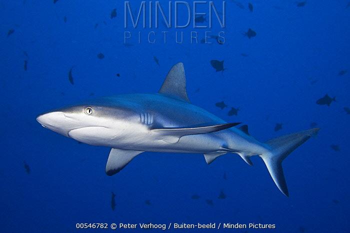 Grey Reef Shark (Carcharhinus amblyrhynchos), Palau  -  Peter Verhoog/ Buiten-beeld