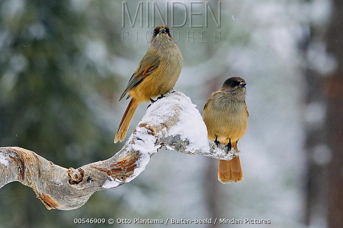 Siberian Jay (Perisoreus infaustus) pair, Finland  -  Otto Plantema/ Buiten-beeld