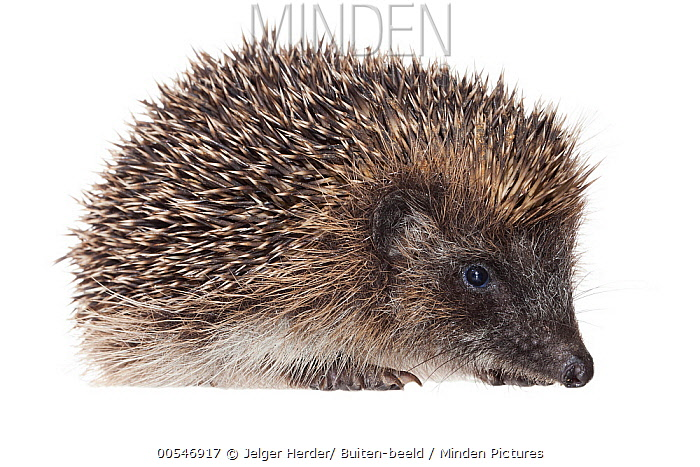 Brown-breasted Hedgehog (Erinaceus europaeus), France  -  Jelger Herder/ Buiten-beeld