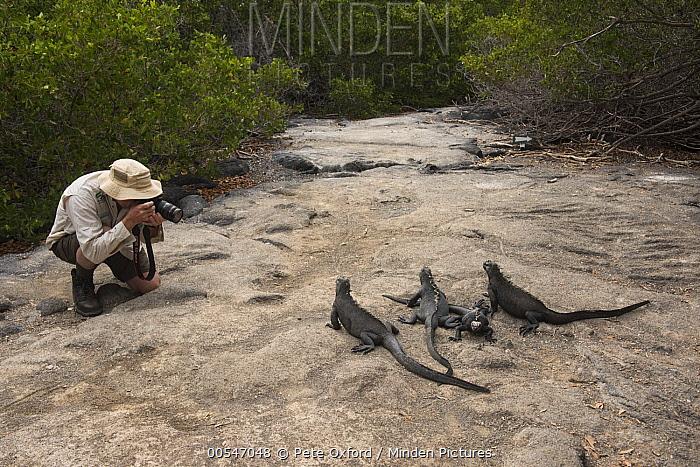 Marine Iguana (Amblyrhynchus cristatus) group photographed by tourist, Fernandina Island, Galapagos Islands, Ecuador  -  Pete Oxford