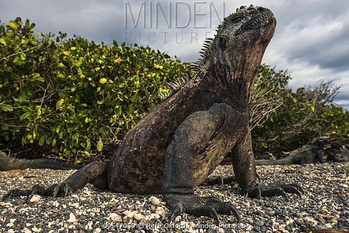 Marine Iguana (Amblyrhynchus cristatus) basking, Fernandina Island, Galapagos Islands, Ecuador  -  Pete Oxford