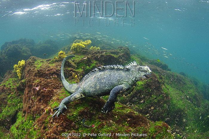 Marine Iguana (Amblyrhynchus cristatus) swimming underwater, Fernandina Island, Galapagos Islands, Ecuador  -  Pete Oxford