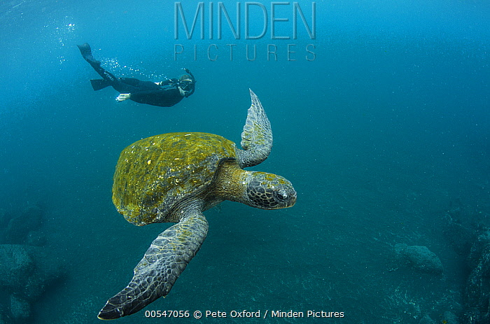 Pacific Green Sea Turtle (Chelonia mydas agassizi) and snorkeler, Galapagos Islands, Ecuador  -  Pete Oxford