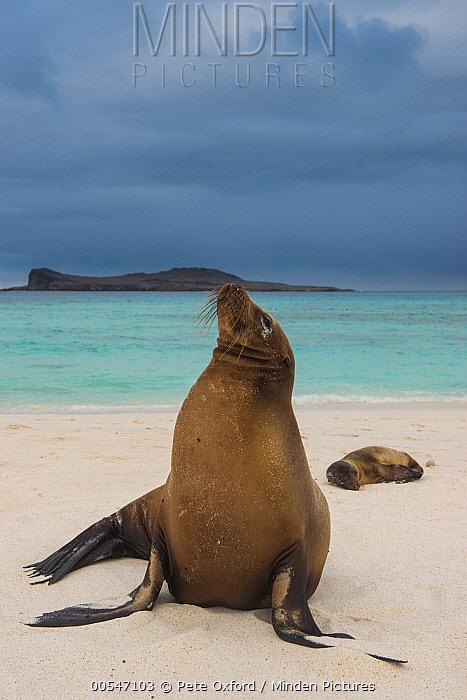 Galapagos Sea Lion (Zalophus wollebaeki) pair on beach, Gardner Bay, Hood Island, Galapagos Islands, Ecuador  -  Pete Oxford