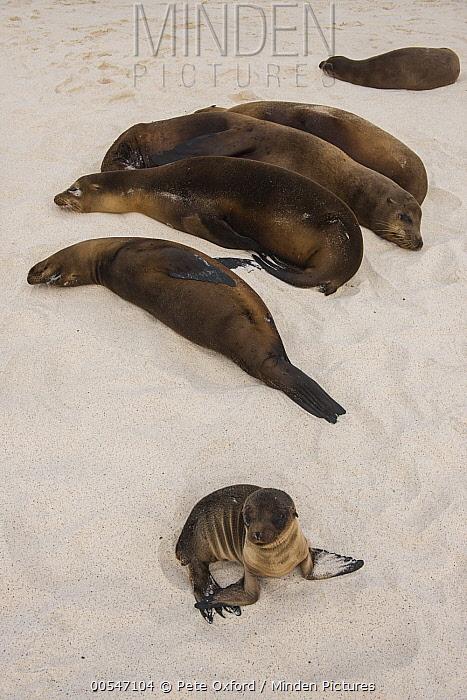 Galapagos Sea Lion (Zalophus wollebaeki) group resting on beach, Gardner Bay, Hood Island, Galapagos Islands, Ecuador  -  Pete Oxford