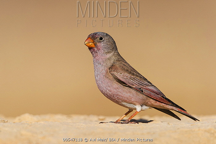 Trumpeter Finch (Bucanetes githagineus) male, Negev, Israel  -  Avi Meir/ BIA
