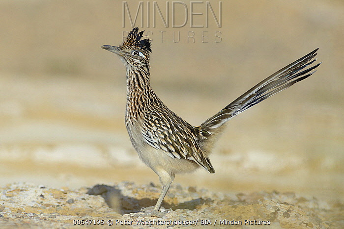Greater Roadrunner (Geococcyx californianus), Texas  -  Peter Waechtershaeuser/ BIA