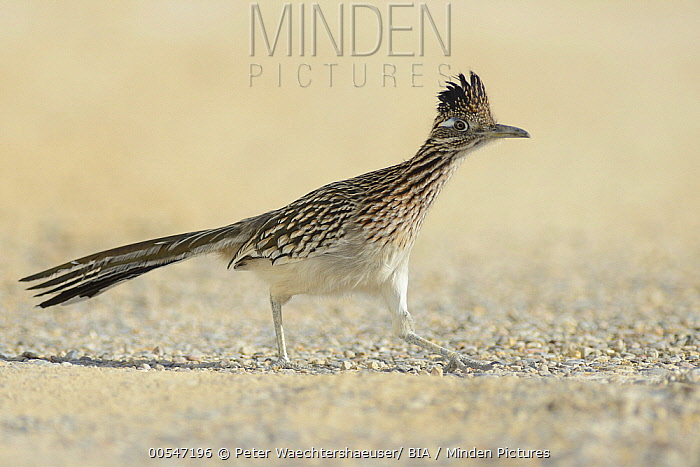 Greater Roadrunner (Geococcyx californianus) running, Texas  -  Peter Waechtershaeuser/ BIA