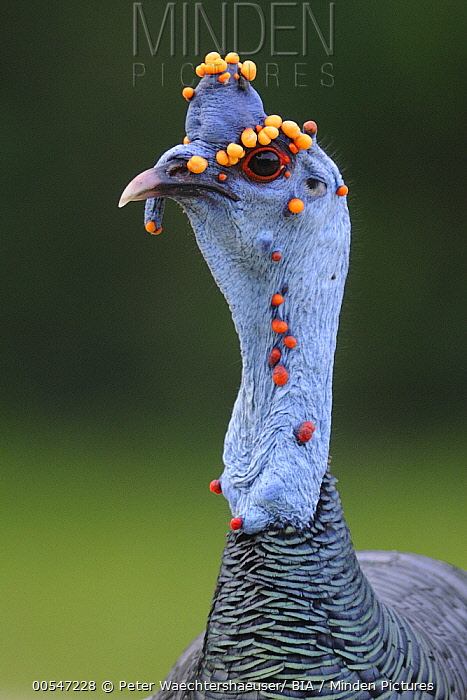 Ocellated Turkey (Meleagris ocellata) male with nodules, Guatemala  -  Peter Waechtershaeuser/ BIA