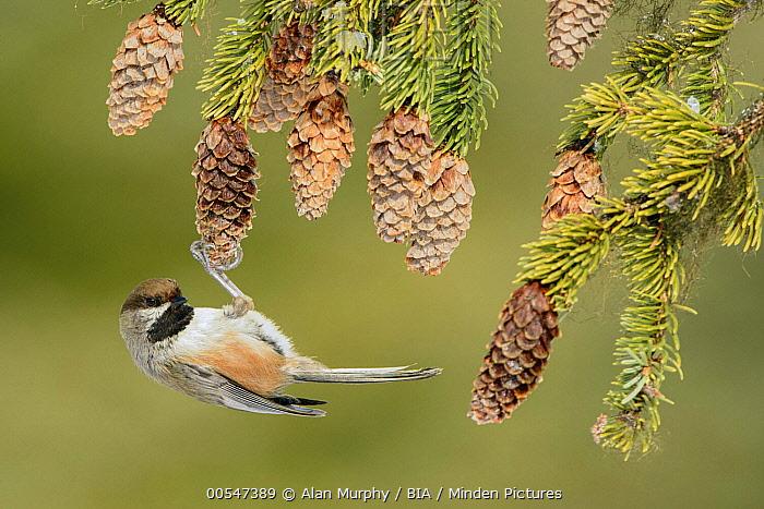 Boreal Chickadee (Poecile hudsonicus) feeding on pine cones, Alaska  -  Alan Murphy/ BIA