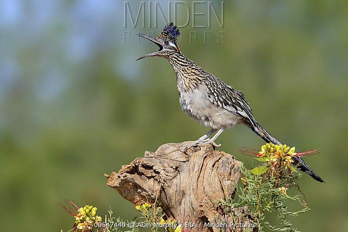 Greater Roadrunner (Geococcyx californianus) calling, Arizona  -  Alan Murphy/ BIA