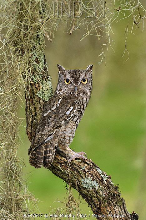 Eastern Screech Owl (Megascops asio), Texas  -  Alan Murphy/ BIA