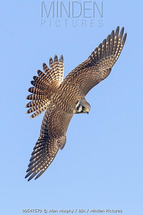 American Kestrel (Falco sparverius) female flying, Texas  -  Alan Murphy/ BIA