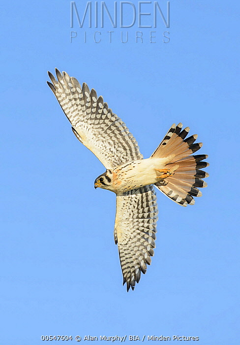 American Kestrel (Falco sparverius) male flying, Texas  -  Alan Murphy/ BIA