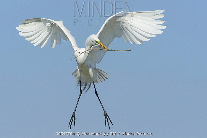 Great Egret (Ardea alba) carrying nesting material, Texas  -  Alan Murphy/ BIA