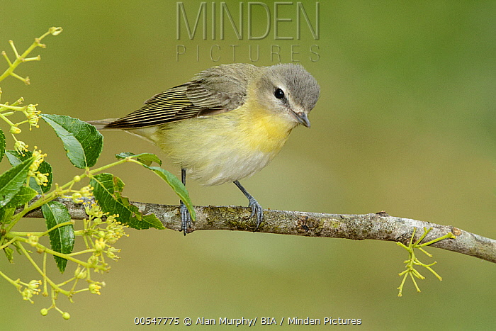 Philadelphia Vireo (Vireo philadelphicus), Texas  -  Alan Murphy/ BIA