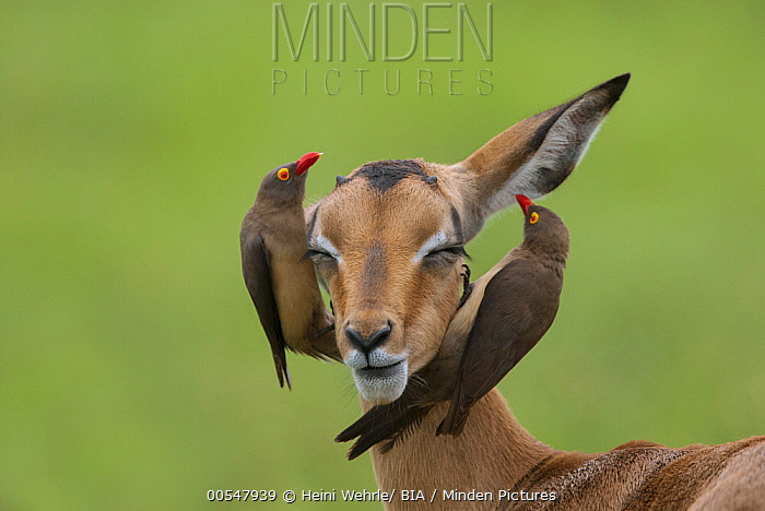 Red-billed Oxpecker (Buphagus erythrorhynchus) pair searching for parasites on Impala, Mpumalanga, South Africa  -  Heini Wehrle/ BIA
