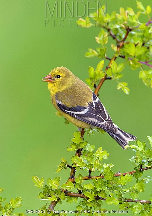 American Goldfinch (Carduelis tristis) female, British Columbia, Canada  -  Tim Zurowski/ BIA