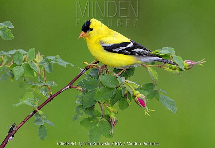 American Goldfinch (Carduelis tristis) male, British Columbia, Canada  -  Tim Zurowski/ BIA